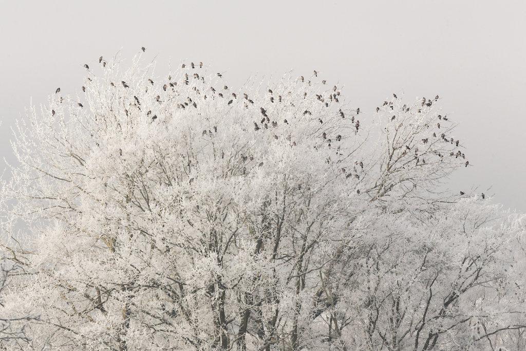 Paysage-poetique-rectangle-Couleurs-Oiseaux-givre-06-01-2015-MG-2921.jpg
